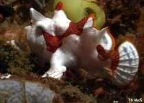 Antennarius maculatus - Warty Frogfish (Clown frogfish) - Warzen Anglerfisch (Clown Anglerfisch)