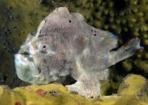 Kuiterichthys sp (Bare Island Frogfish - Bare Island Anglerfisch)