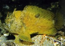 Echinophryne mitchelli (Mitchell's Frogfish, Long-spined anglerfish - Mitchell's Anglerfisch)