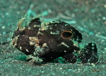 Nudiantennarius subteres (Lembeh Frogfish - Lembeh Anglerfisch)