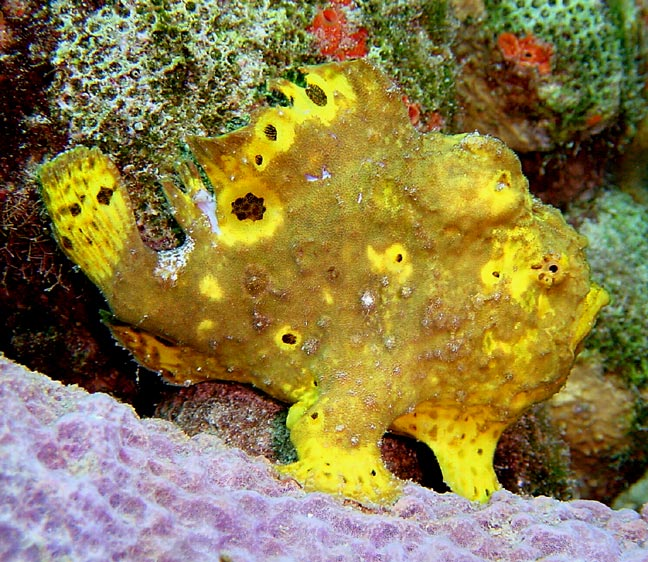 Antennarius multiocellatus (Longlure frogfish, Flagpole Frogfish - Augenfleck Anglerfisch)