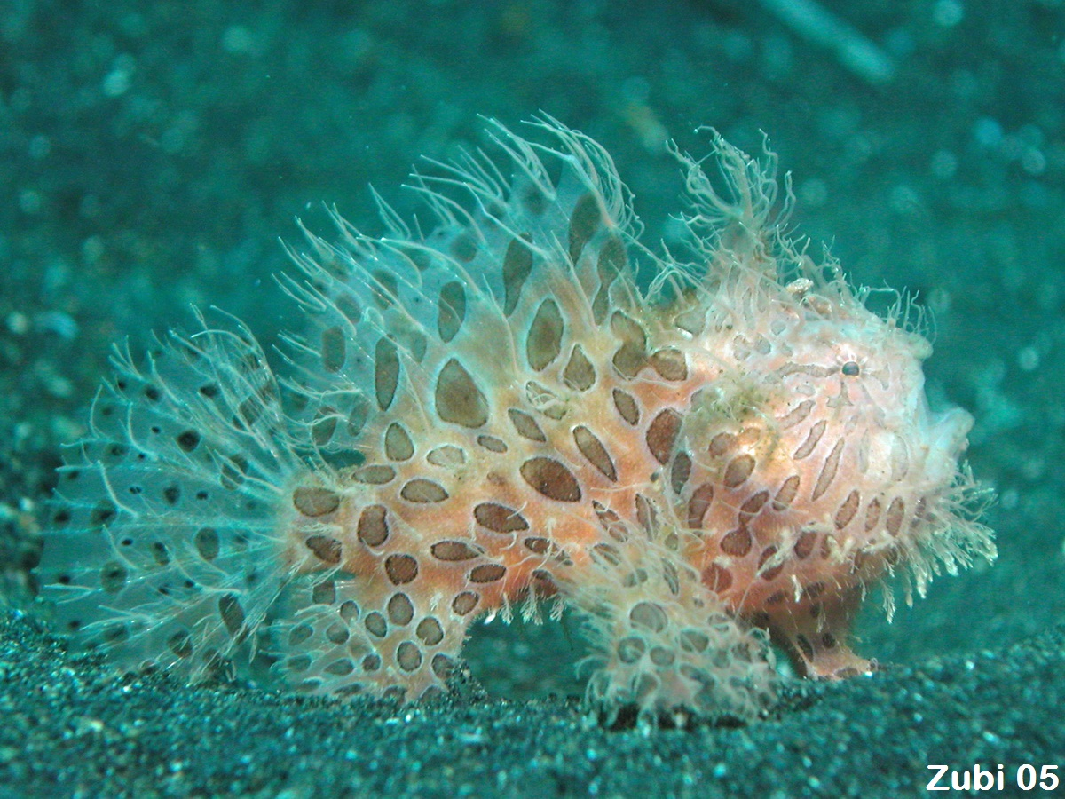 photo of a frogfish (Hairy frogfish)  - <em>Antennarius striatus</em>. Common Names: froggie, froggy,angler, anglerfish, Fishing frog, Toadfish, Fishing frog (English), Anglerfisch, 