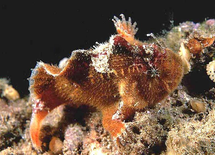 "Echinophryne crassispina (Prickly Frogfish - ""Stachliger"" Anglerfisch)"