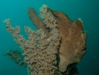Frogfish, Anglerfish: Camouflage, coloring, shapes