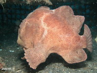 Galloping Giant frogfish Antennarius commerson