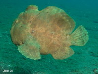Swimming Giant frogfish Antennarius commerson