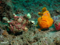 Antennarius maculatus (engorged) is followed by a Antennarius pictus frogfish. Perhaps it is waiting for the release of the eggs, so it can eat them