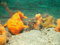 Painted frogfish (Antennarius pictus) - left large female, right smaller male