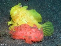 Hairy frogfish (Antennarius striatus) the smaller male (redish) follows the expectant female (yellow)