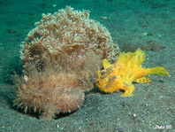 Hairy frogfish (Antennarius striatus) - the smaller male (yellow) follows the expectant female (brown)