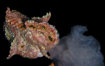 Longlure frogfish (Antennarius multiocellatus) - small orange male (below to the right) is following large engorged female