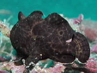 Baby Giant Frogfish (Antennarius commerson) about 4cm identified by the lure visible