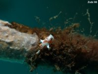 Warty frogfish (Clown frogfish) - <em>Antennarius maculatus</em> - Warzen Anglerfisch