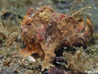 Painted Frogfish (Antennarius pictus) about 3cm