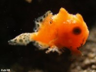 Photos Baby Frogfishes - Fotos Baby-Anglerfischen