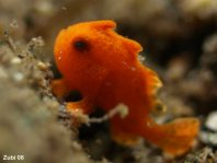 Painted Frogfish (Antennarius pictus) about 6mm