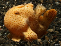 Swimming Baby Painted frogfish (Antennarius pictus)
