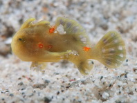 Painted frogfish - Antennarius pictus - Rundflecken Anglerfisch