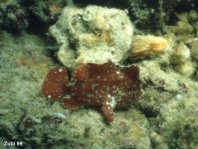 Randall's frogfish - Randall's Anglerfisch thumbnail picture / Kleinbild