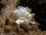 Hispid Frogfish (Antennarius hispidus) about 8mm