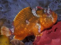 Prickly Frogfish , Thick-spined anglerfish - <em>Echinophryne crassispina</em> - &quot;Stachliger&quot; Anglerfisch