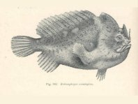 Echinophryne crassispina (Prickly Frogfish - Stachliger Anglerfisch)
