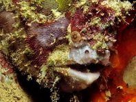 Lophiocharon lithinostomus (Marble-Mouthed Frogfish - Marmor-Maul Anglerfisch)