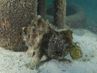Marble-mouth frogfish - Lophiocharon lithinostomus - Marmor-Maul Anglerfisch
