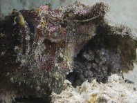 Marble-mouth frogfish - <em>Lophiocharon lithinostomus</em> - Marmor-Maul Anglerfisch