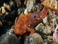 Lembeh Frogfish (Ocellated Frogfish) before Antennatus sp. - Nudiantennarius subteres - Lembeh Anglerfisch (Ocellus Anglerfisch) ehemalig Antennatus sp.
