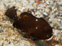Rosy frogfish (Spiny-tufted Frogfish) - Antennatus rosaceus - Rosa Anglerfisch
