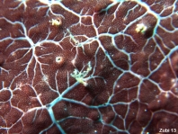 "Cryptic Frogfish / Rodless frogfish - <em>Histiophryne cryptacanthus</em> - ""Verborgener"" Anglerfisch"